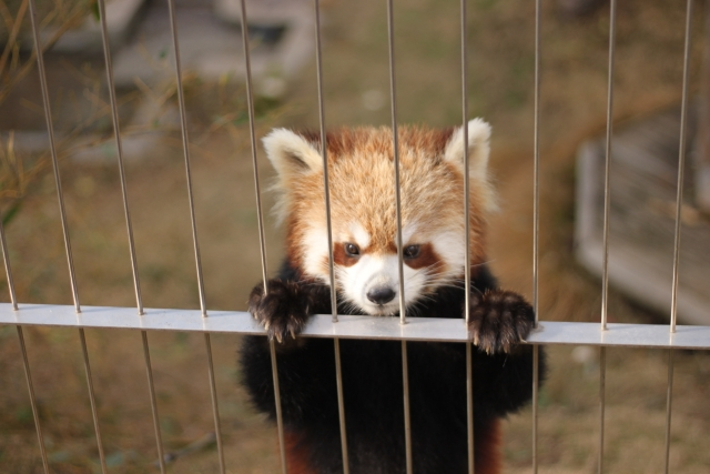 檻の中のレッサーパンダ